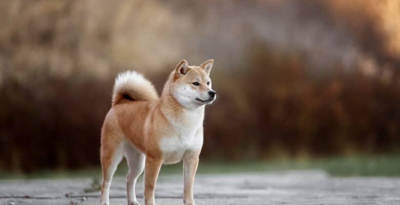 akita hondenras