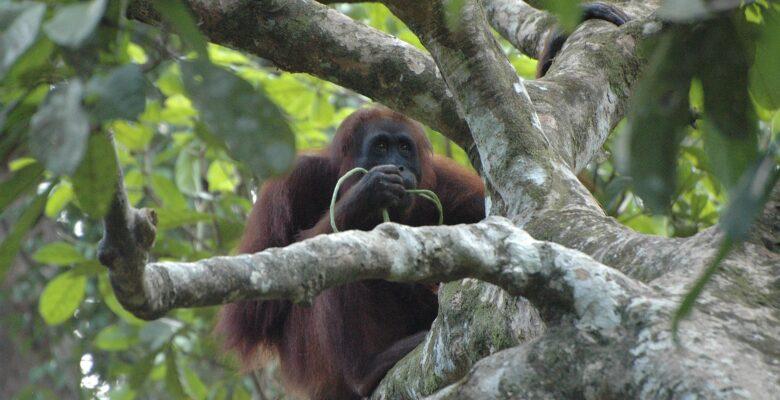 borneose orang-oetan