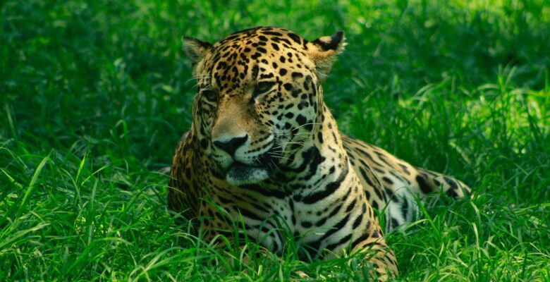 luipaarden panters