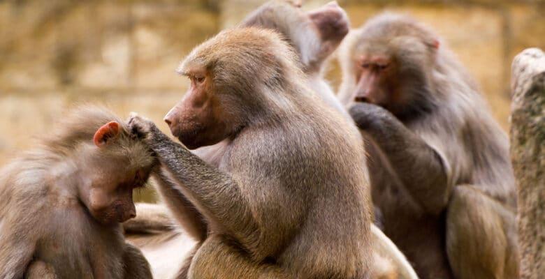 apen bavianen