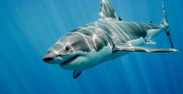 haaien grote witte haai
