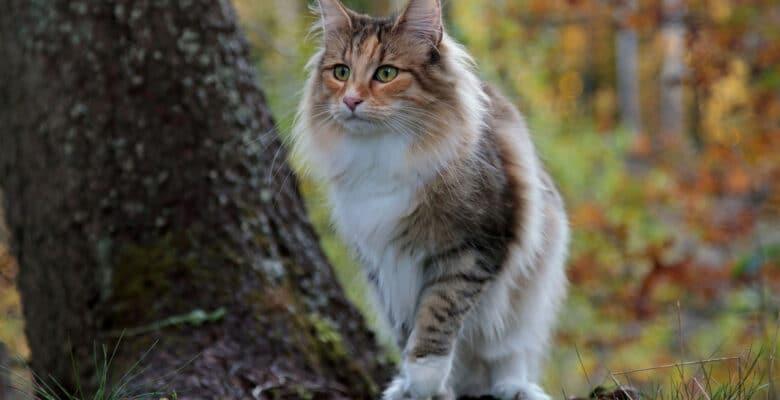 noorse boskat