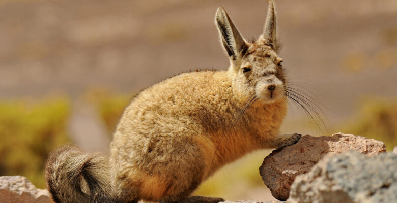 viscacha (Lagostomus maximus)