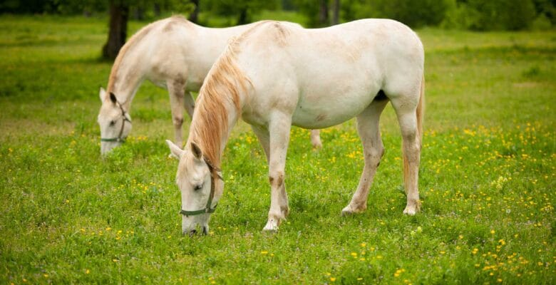 lippizaner paard