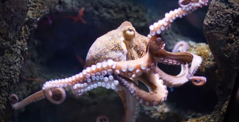 weekdier octopus