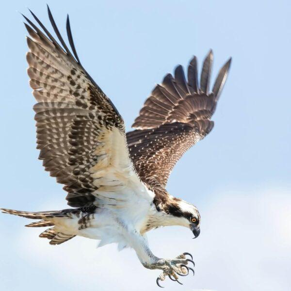 Roofvogels in Nederland