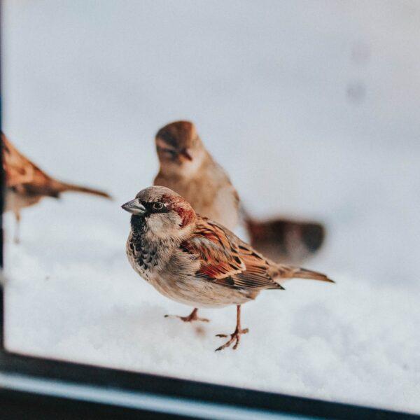Huismus is een van de beschermde vogels waar je rekening mee moet houden tijdens het bouwen