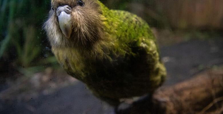 kakapo papegaai