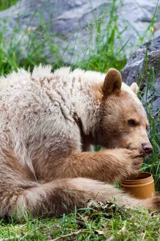 wat eten beren