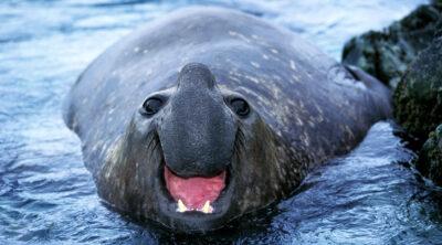 lelijke dieren zeeolifant